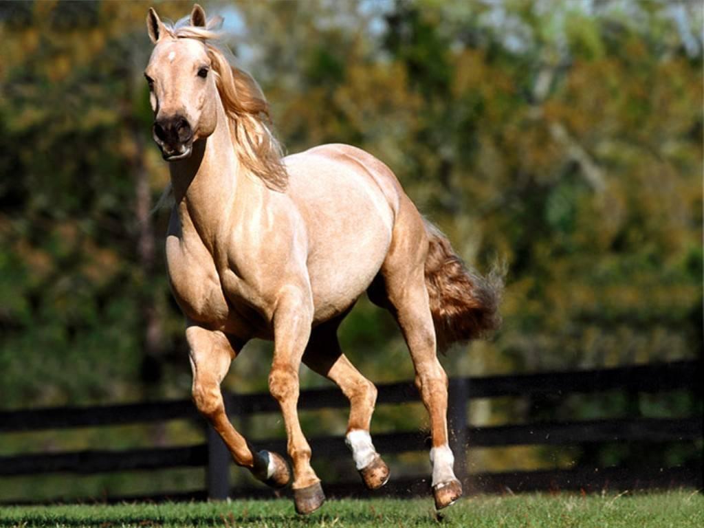 بالصور حصان عربي , صور احصنة عربيه 5795 1