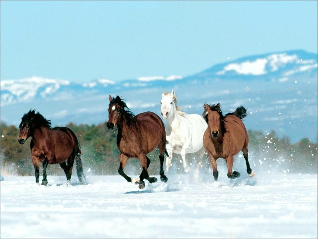 بالصور حصان عربي , صور احصنة عربيه 5795 2