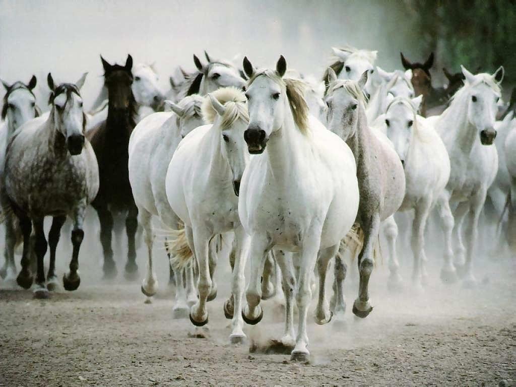 بالصور حصان عربي , صور احصنة عربيه 5795 3