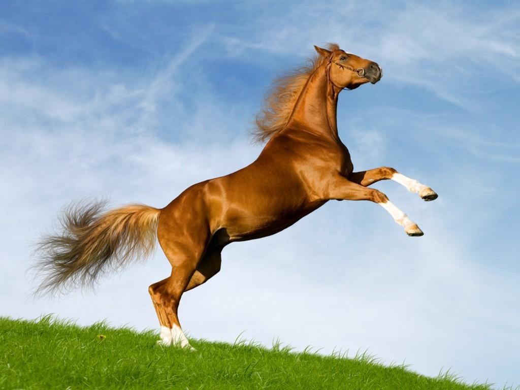 بالصور حصان عربي , صور احصنة عربيه 5795 4