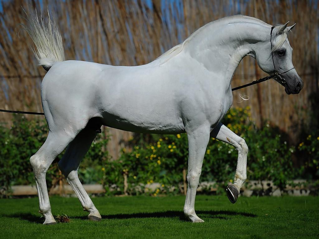 بالصور حصان عربي , صور احصنة عربيه 5795 6