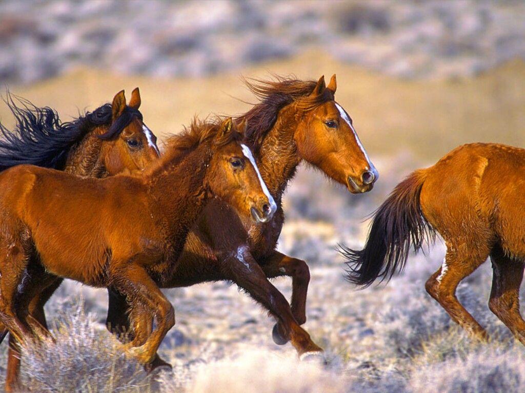 بالصور حصان عربي , صور احصنة عربيه 5795 7