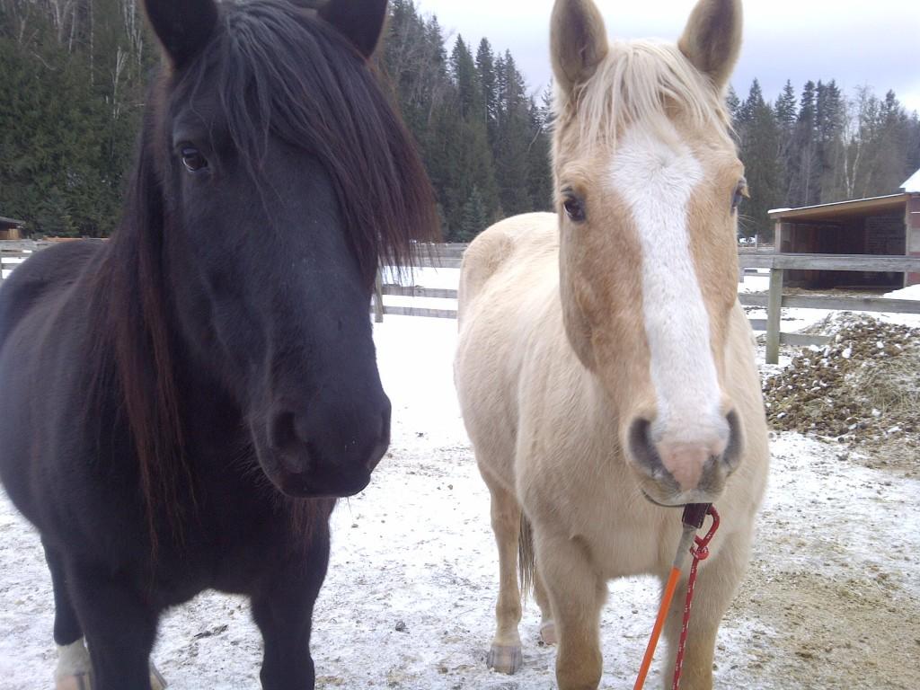 بالصور حصان عربي , صور احصنة عربيه 5795 9