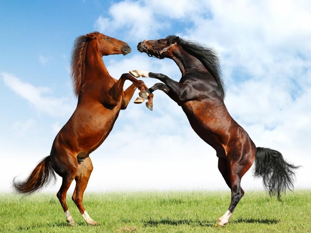 بالصور حصان عربي , صور احصنة عربيه 5795