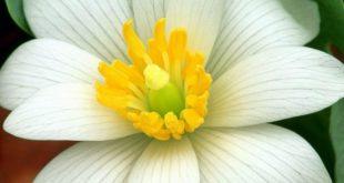 بالصور زهر الليمون , فوائد زهرة الليمون 3730 11 310x165