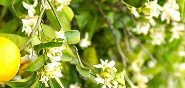 بالصور زهر الليمون , فوائد زهرة الليمون 3730 4