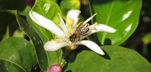 بالصور زهر الليمون , فوائد زهرة الليمون 3730 5