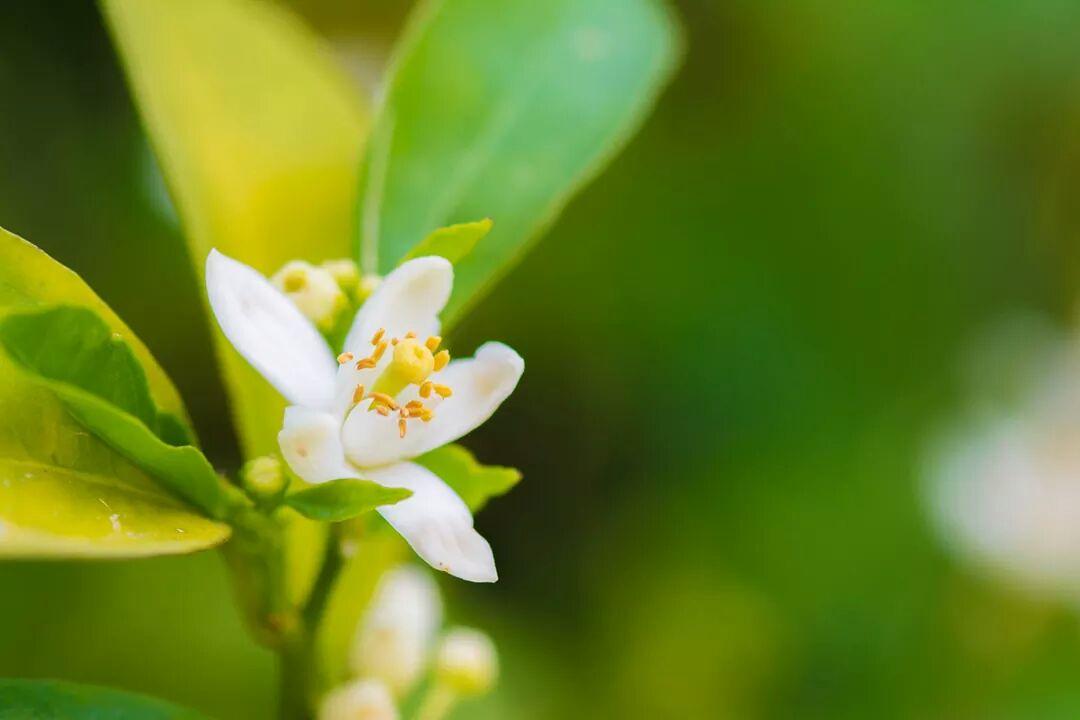 بالصور زهر الليمون , فوائد زهرة الليمون 3730 6