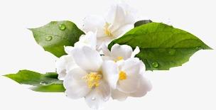 بالصور زهر الليمون , فوائد زهرة الليمون 3730 7