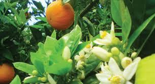 بالصور زهر الليمون , فوائد زهرة الليمون 3730 9
