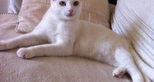 صور قطط سيامو , صور لقطط سيامو الجميله