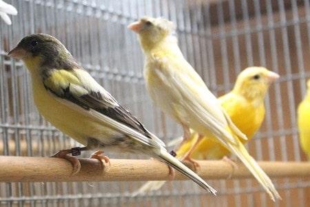 صور انواع الكناري , طيور كناري متنوعة