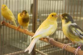 بالصور انواع الكناري , طيور كناري متنوعة 4731 2