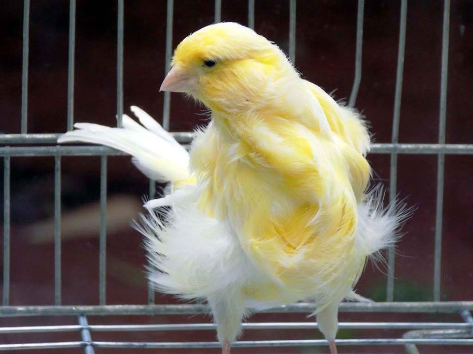 بالصور انواع الكناري , طيور كناري متنوعة 4731 4