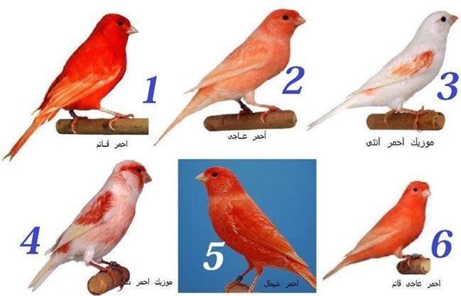 بالصور انواع الكناري , طيور كناري متنوعة 4731 5
