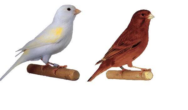 بالصور انواع الكناري , طيور كناري متنوعة 4731 6