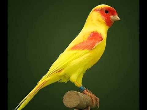 بالصور انواع الكناري , طيور كناري متنوعة 4731 8