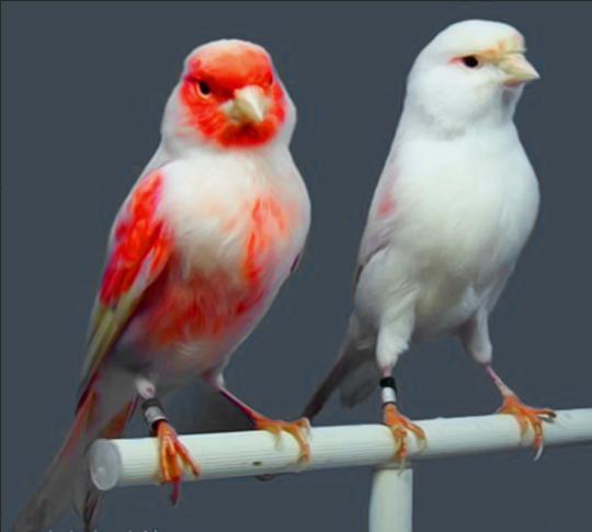 بالصور انواع الكناري , طيور كناري متنوعة 4731