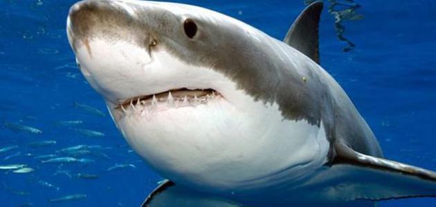 صور صور سمك القرش , صورة اسماك قرش