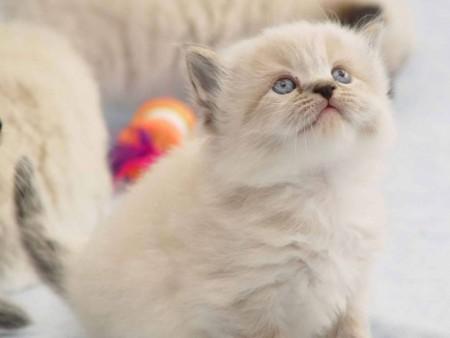 بالصور قطط جميلة , خلفيات قطط روعه 5835 10