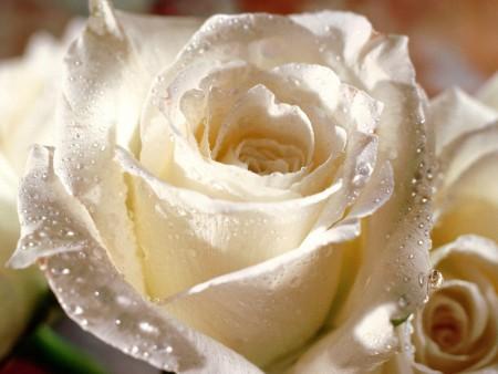 بالصور خلفيات ورد , صور زهور حلوه 5875 3
