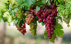 صور فوائد العنب الاحمر , معلومات عن العنب