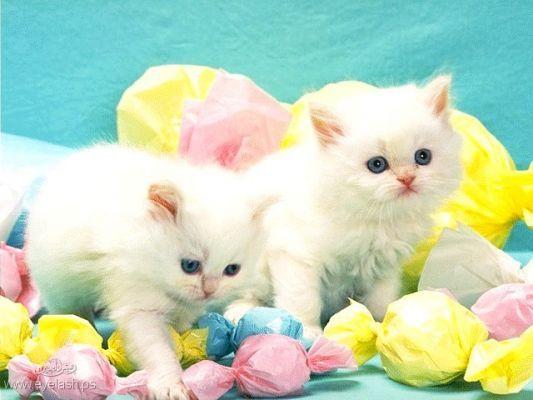 بالصور قطط رومي , صور قطط جميله اوي 6065 6
