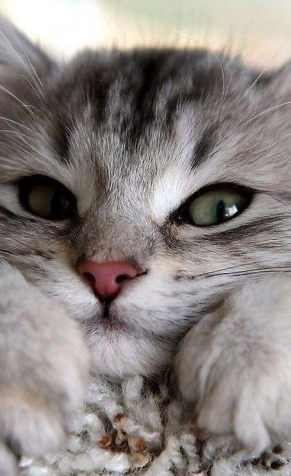 بالصور قطط رومي , صور قطط جميله اوي 6065 8