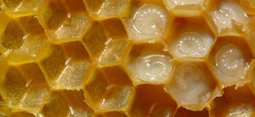 بالصور فوائد غذاء ملكات النحل , اهمية غذاء الملكات 1196