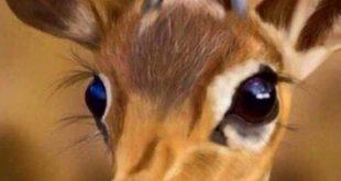 عيون الريم , من اجمل العيون
