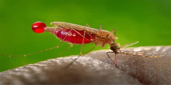بالصور مرض الملاريا , اعراض مرض الملاريا 1648 1