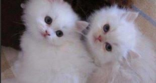 صور صور قطط شيرازي , اجمل صور للقطط الشيرازي