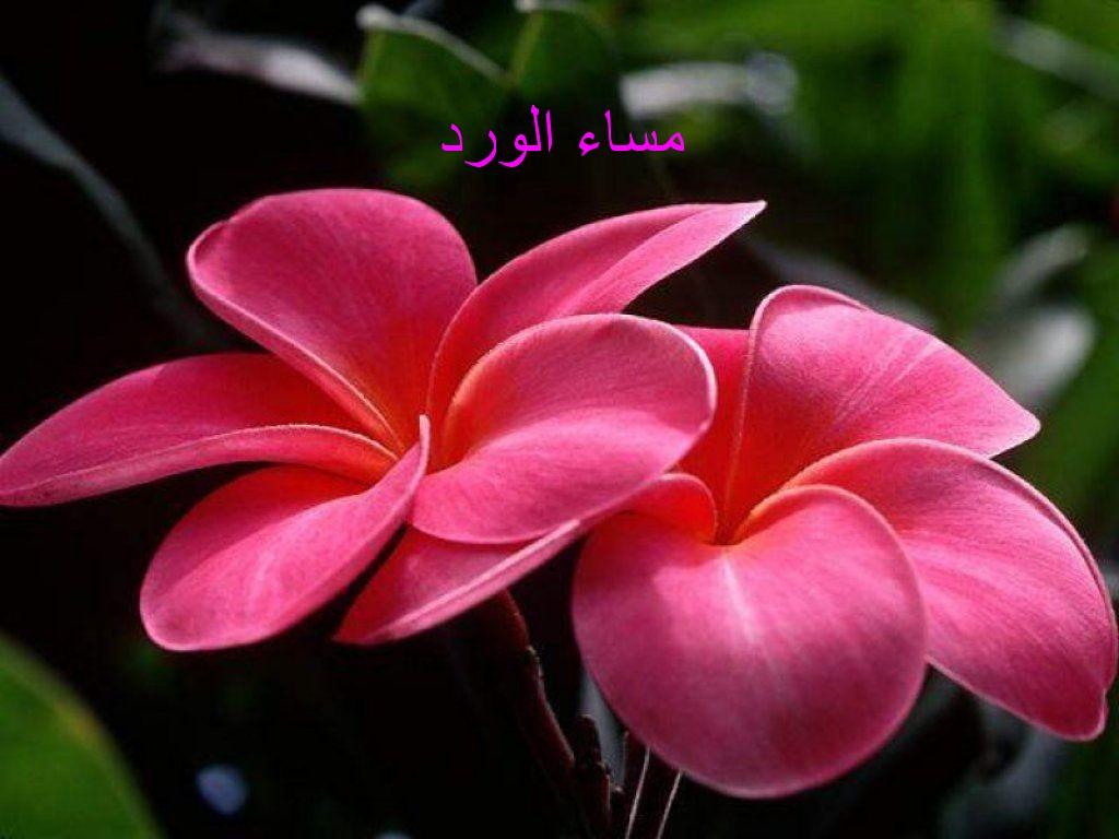 بالصور مساء الورد حبيبي , اجمل تحيات المساء 4436 10