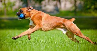 صور انواع الكلاب , اشرس انواع الكلاب