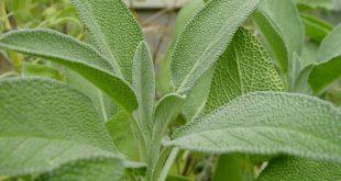 صور عشبة الميرمية , فوائد عشبة الميرمية