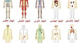 بالصور جسم الانسان بالصور , بالصور تعرف علي مكونات جسمك 5310 11 310x165