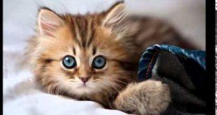 بالصور اجمل الصور للقطط في العالم , صور قطط جميلة وكيوت 4970 12 310x165