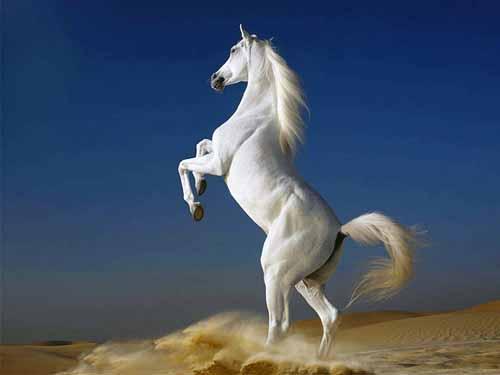 صور صور خيول , خيول عربية اصيلة