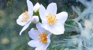 صور صور ورد الياسمين , تعرف علي افضل انواع الورود