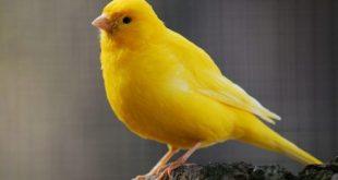 صور كناري , طائر الكناري اعذب صوت وصاحب شكل جميل