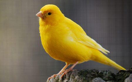 صور صور كناري , طائر الكناري اعذب صوت وصاحب شكل جميل
