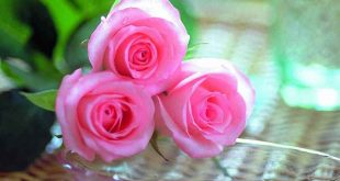صور صور ورود جميلة , اجمل زهور وورود طبيعية