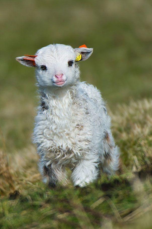 صور صور خروف صغير , معلومات عن الخروف الصغير و مامته