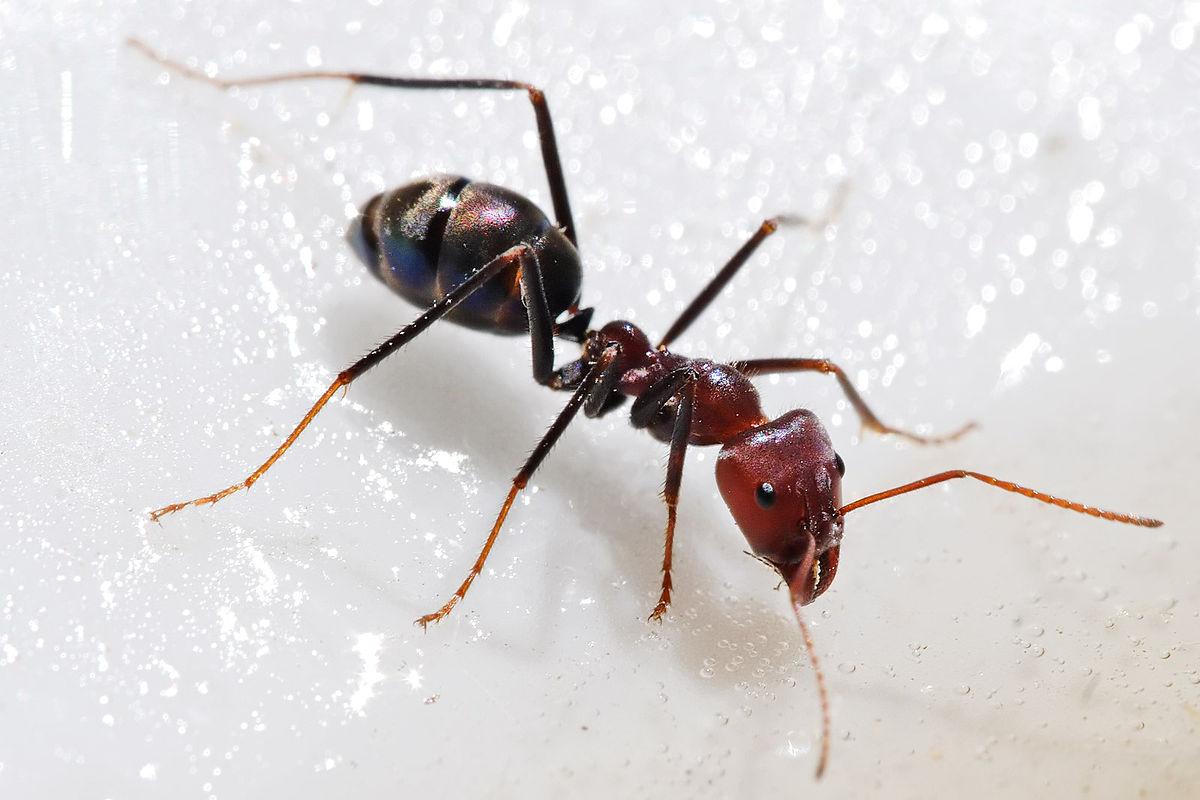 صورة انواع النمل بالصور , معلومات هتتفاجئ بيها