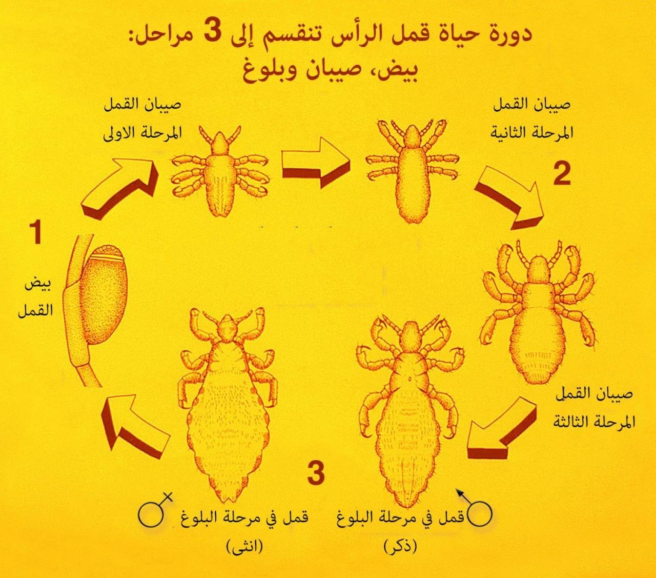 صور شكل القمل والصيبان بالصور , حشرات تعيش بالراس