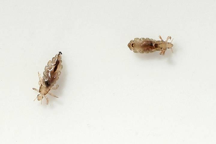 صورة شكل القمل والصيبان بالصور , حشرات تعيش بالراس