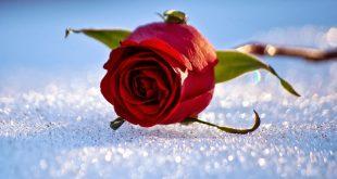 صورة خلفيات ورود جميلة جدا , اشكال مميزة من الورد